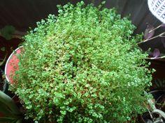 Soleirolia soleirolii - Husfred - Urticaceae - Brenneslefamilien - STUE