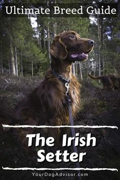 The Irish Setter - Ultimate Breed Information Guide   Your Dog Advisor Best Big Dogs, Best Dog Food, Puppies That Dont Shed, Dogs And Puppies, Large Dog Breeds, Large Dogs, Every Dog Breed, Most Beautiful Dogs, Purebred Dogs