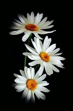 Black background with white daises - Blumen Flowers Nature, Exotic Flowers, White Flowers, Beautiful Flowers, Black Background Painting, Black And White Painting, Art Background, Daisy Wallpaper, Sunflower Wallpaper