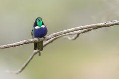 beija-flor-de-gravata-verde cerrado