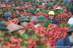 Farmers in Bac Giang province are busy harvesting Luc Ngan litchi – a specialty in northern Vietnam.