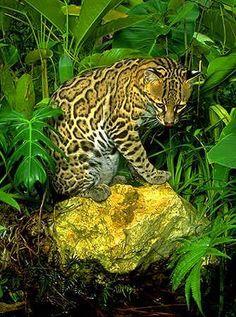 Image - l'ocelot - animaux en voix de disparitions et massacre - Skyrock.com