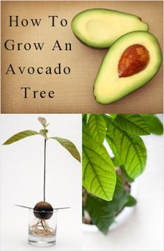 DIY how to grow an avocado tree. I LOVE avocados