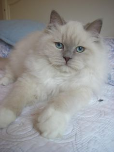 Lilac Mink Ragdoll  THIS IS ONE BEAUTIFUL CAT!