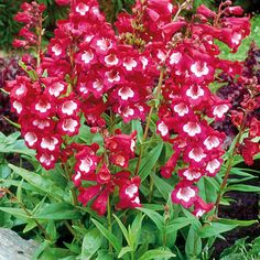 Image from http://cdn.plantmenow.co.uk/media/catalog/product/cache/1/image/9df78eab33525d08d6e5fb8d27136e95/p/e/penstemon-tubular-bells-wine-red.jpg.