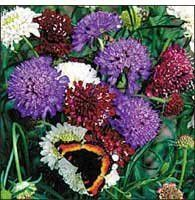 The Dirty Gardener Color Pincushion Flower Mix, 100 Seeds