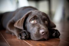 Wonderfully expressive photo of a chocolate lab puppy by photographer Meredith Perdue Cute Puppies, Cute Dogs, Dogs And Puppies, Doggies, Chocolate Lab Puppies, Chocolate Labs, Mans Best Friend, Pet Shop, Dog Life