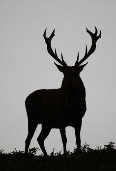 Red Deer Stag Silhouette ( Bradgate Park ) by Dan Belton ( No Badger Cull ), via Flickr