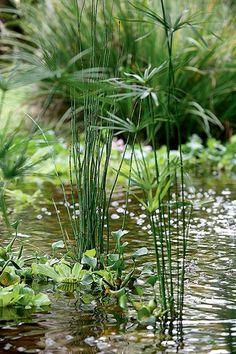Plantada em vaso, a sombrinha-chinesa atinge até 1,10 m de altura. Na superfície da água, alguns exemplares de alface-d'água