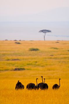Female ostriches, Masai Mara National Reserve, Kenya | Blaine Harrington  - Explore the World with Travel Nerd Nici, one Country at a Time. http://TravelNerdNici.com