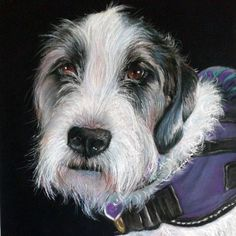 A portrait in soft pastels and pastel pencil of a beautiful assistance dog called Willow, a Schnauzer Irish Wolfhound cross. Pet portrait in soft pastels on black paper. Www.ruthbradyart.com