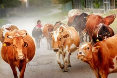 Dobrogea Sweet Cow, Danube Delta, My Childhood, Romania, Respect, Animals, Beautiful, Cow, Animales