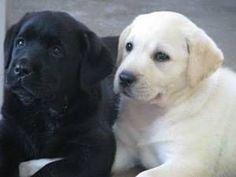 book ends  English Labrador puppies