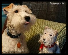 Our Wire Fox Terrier Rumplepimple.Are you sticking your tongue out at me ?