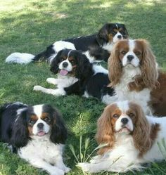 Beautiful pack of Cavaliers