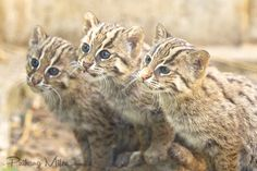 Have you ever seen a more sweet sight than that of 3 little Fishing Cat kittens sitting together?