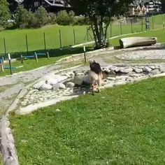 Cute Funny Animals, Funny Dogs, German Shepherd Puppies, German Shepherds, Dog Park, Dogs Of The World, Cute Love, Water Features, Dogs And Puppies