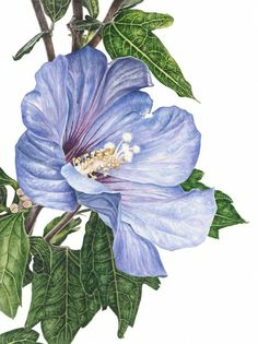 "Anna Mason Art   Hibiscus Syriacus 'Blue Bird' Botanical print from an original water-colour £60  9"" x 12"" Shipped worldwide http://annamasonart.com"