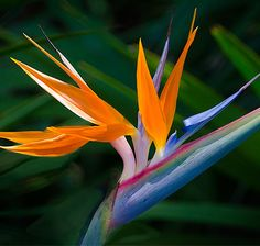 Fact of the Day!!  The Bird of Paradise is a beautiful, oddly shaped plant that resembles a colorful tropical bird.