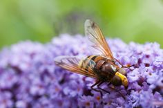hornet mimic hoverfly on butterfly bush