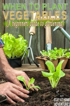 If you are a beginner gardener when to plant vegetables this season is important. Learn the tips to help start planting your vegetable gardening. - All About Garden When To Plant Vegetables, Planting Vegetables, Organic Vegetables, Planting Seeds, Planting Flowers, Organic Nutrients, Container Vegetables, Gardening For Beginners, Gardening Tips