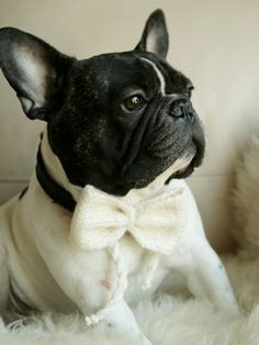 'Mr. Handsome', French Bulldog in Bow Tie.