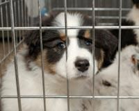 Animal Legal Defense Fund:Furry Babies Pet Store Faces Lawsuit for Allegedly Selling Unhealthy Puppy Mill Puppies