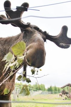 A moose in Lagan Sweden./ I love me some moose! they are the cutest! Moose Pictures, Animal Pictures, Cute Pictures, Animals And Pets, Baby Animals, Cute Animals, Beautiful Creatures, Animals Beautiful, Bull Moose