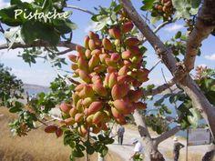 Pé de Pistache. Tanto a árvore quanto o fruto seco verde possuem essa denominação. É uma árvore de folha caduca e pequena (5 a 7 metros de altura, e que tende a inclinar-se) com folhas pinadas dióicas, nativa do sudoeste asiático .Os grãos são mais frequentemente consumidos inteiros, torrados e salgados (como os amendoins) ou frescos. Também é famoso o sorvete de pistache, de coloração verde. É utilizado em doces como a baklava e frios como mortadela.