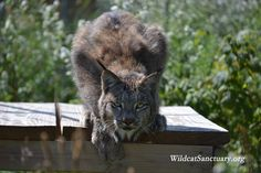 Shalico, the Canada Lynx, here: http://www.wildcatsanctuary.org/residents/small-cats/canadian-lynx/shalico/