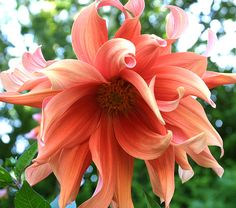 Another dinner plate dahlia....Would make a lovely realism color tattoo!!!