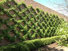 Espaliered crabapples at the Chicago Botanic Garden. I wonder if this could be done with climbing vines on a wire trellis? Wall Climbing Plants, Climbing Vines, Formal Gardens, Outdoor Gardens, Landscape Design, Garden Design, Wire Trellis, Garden Trellis, Cacti Garden