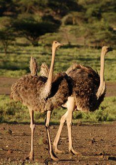 Masai Ostrich (Struthio camelus massaicus), Kenya