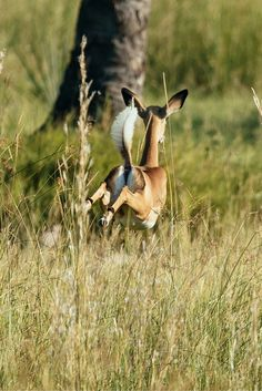 A leaping impala having fun around the camp