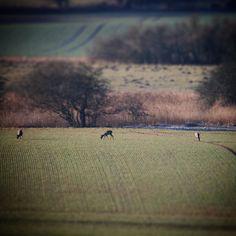 Rådyr igang med vestfynsk morgenmad på en smuk kold forårsmorgen #beautiful #outdoor #nature #landscape #bestofscandinavia #worldunion #igdaily #igscandinavia #danmark #nofilter  #vscocam #picoftheday #photooftheday #instagood #instamood #instadaily #assens #assensnatur #visitassens #visitdenmark #instapic #instagram #friluftsliv #fynerfin #vildmedfyn #mitassens
