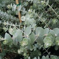 Eucalyptus... love this color in the arrangements