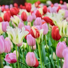 Araluen tulip festival and at the end of the festival the tulips will be composted. Tulip Festival, Day Left, Perth, Compost, Tulips, Plants, Instagram, Diy Compost Bin, Tulip