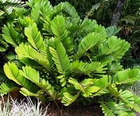 The Cardboard Palm grows in clumps and can get up to 5-10ft tall and 1-5ft wide. Fruit is toxic to dogs & cats.