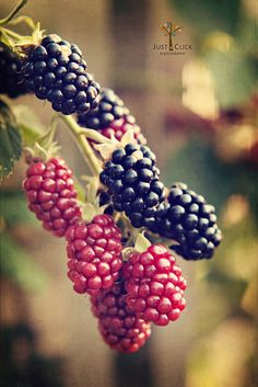 Researchers have known for quite some time that berries contain antioxidants which help to fight cancer causing free radicals. A study has found that black berries are the most potent cancer fighting berries of them all, by nearly 40 percent! Fruit And Veg, Fruits And Vegetables, Fresh Fruit, Watermelon Mojito, Exotic Fruit, Delicious Fruit, Fruit Art, Fruit Trees, Blackberry