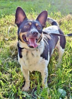 Trapper is an adoptable jack russell terrier searching for a forever family near Helena, AL. Use Petfinder to find adoptable pets in your area.