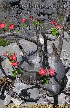 Pachypodium baronii var. windsorii