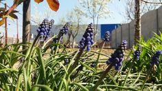 #purple #niceflowers #garden #sunnyday #my📷😍 E Flowers, Sunny Days, Fruit, Vegetables, Purple, Garden, Plants, Photos, Photography