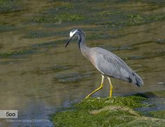 White faced Heron by scsutton. Please Like http://fb.me/go4photos and Follow @go4fotos Thank You. :-)