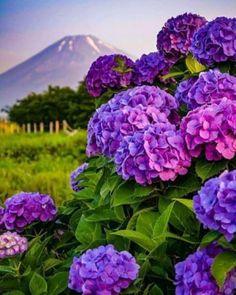 Hydrangea Seeds, Hortensia Hydrangea, Hydrangea Garden, Garden Shrubs, Hydrangea Flower, Flower Seeds, Hydrangea Varieties, Hydrangea Bush, Purple Flowers