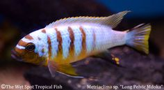 An extensive selection of Lake Malawi Cichlids available!