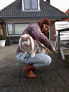 Brushing is not easy Hummer, the French Lop Lop Bunnies, Bunny Bunny, Baby Bunnies, Cute Bunny, Nature Animals, Animals And Pets, Cute Animals, French Lop Rabbit, Flemish Giants
