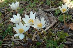 """Bloodroot was used by eastern American Indian tribes as a red dye and in the treatment of ulcers, skin conditions, and as a blood purifier as well as for treating ulcers and skin conditions.  The juice treated coughs and sore throats; the taste masked by placing the juice on a lump of maple sugar that was then sucked. Higher oral doses were observed to expel phlegm and cause vomiting. The root entered 19th century medicine as a caustic topical treatment for skin cancers, polyps, and warts."""