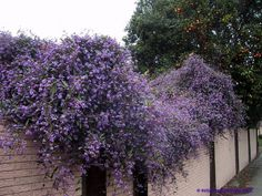 Hardenbergia violacea (Australian Sarsparilla, Coral Pea, Lilac Vine) can grow to cover a big space. fragrant bloom late winter - mid summer. height 6-8 ft. zone 9b-11 or tender perennial in colder zones.