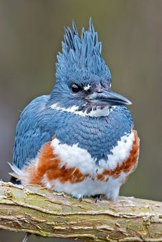 Belted Kingfisher Female | Flickr - Photo Sharing!