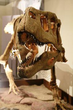 Aucasaurus garridoi,  a medium sized abelisaurid from the Late Cretaceous of Argentina.